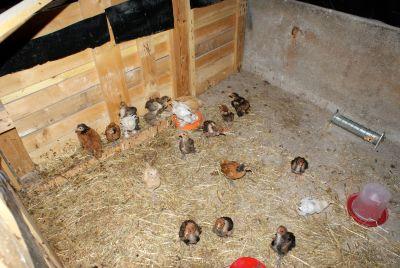 poussins de 6 semaines dans le grand parc d'élevage