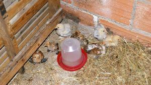 poussins d'un mois dans le petit parc d'élevage