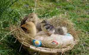 jeunes oies et poussin brahma bleu