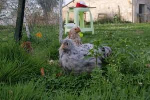 poulets au jardin
