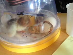 éclosion poussin dans couveuse brinsea mini éco
