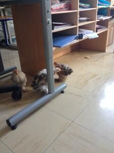 balade des 3 poussins dans la classe de l'école