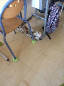 Poussins en liberté sous une table d'école, dans la classe
