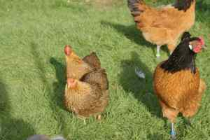 R2 et D2 nos deux poulettes wyandottes naines perdrix maillé doré