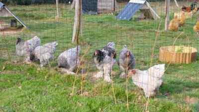 Parquet n°2 de nos poules brahmas bleus... bien alignés pour la photo !