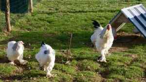 Notre tout premier parquet de poules brahmas blancs herminés !!