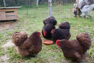 Les pékins chocolat : parquet de KKO, deux poules et une poulette 2015