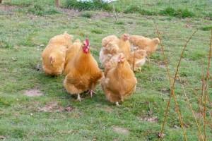 La troupe d'orpington fauve conduite par le coq Coco.