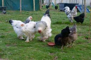 nos deux pondeuses industrielles X et Y sont confiées à H2O pour compléter le nombre de poules et préserver les poulettes immatures