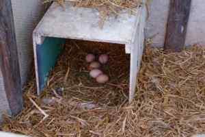 oeufs dans le nid des poules brahma fauves