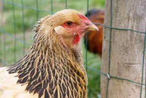 portrait de Hold-up, l'une de nos poules ménagères