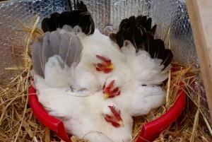 Alignement de cocottes chabo dans le nid, la veille des éclosions...