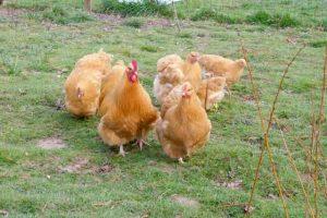 Coco et ses poules orpington fauve