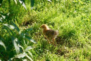 Mascot' le poussin découvre le jardin sous le soleil !