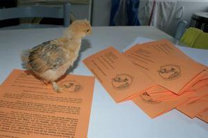 Mascot' passe aussi du temps à contrôler mon travail !!! sur la table elle regarde les feuilles à mettre dans les enveloppes !