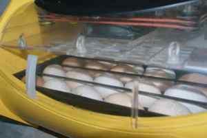 les oeufs sont au chaud dans la Brinsea octagon 20 semi automatique