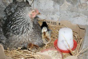 Quelle joie, que d'observer une maman poule élever ses poussins !