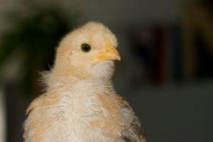 Mascot' bébé à 22 jours