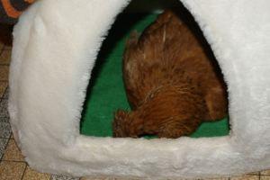 Mascot' épuisée dort à poing fermé dans son igloo