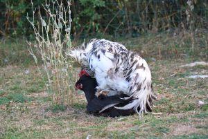 Caradoc coq brahma splash en pleine action de reproduction avec poule noire