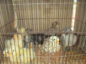 Les 11 poussins nés aux Philippines en mai 2016