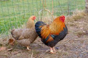 DVD : coq wyandotte perdrix doré maillé avec R2 l'une de ses poules