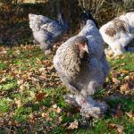 poule brahma bleue