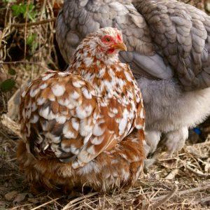 Iena : poule pékin porcelaine rouge