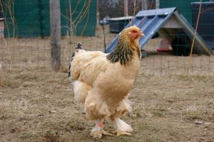 Nala, poule brahma fauve herminé noir.