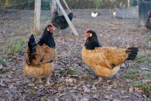 Pay et Pal, poules vorwerk de presque 2 ans