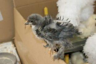 Fala, poussin bleu de trois semaines, plumage frisé