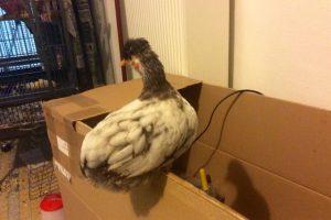 P'Ang poulette huppée, sur le haut du carton servant d'éleveuse à poussins