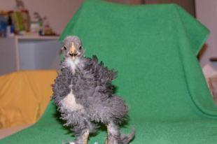 Fala, poussin bleu de 5 semaines, plumage frisé