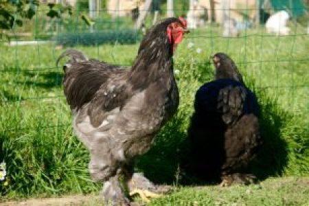 Best, coq brahma bleu, en compagnie de sa complice AB, poule brahma noire