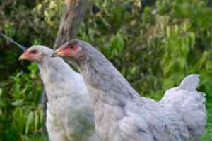 deux poulettes brahmas qui observent quelque chose d'inhabituel