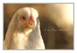 portrait de Roxy, poulette brahma splash