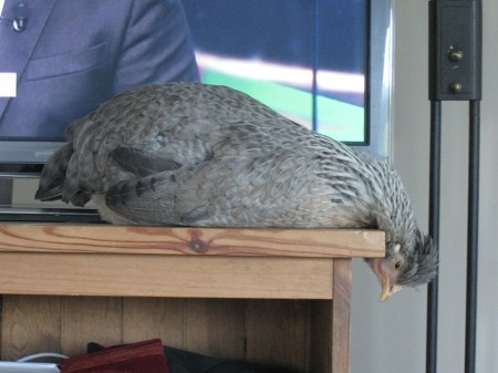 Poule qui s'endort sur une étagère, la tête dans le vide