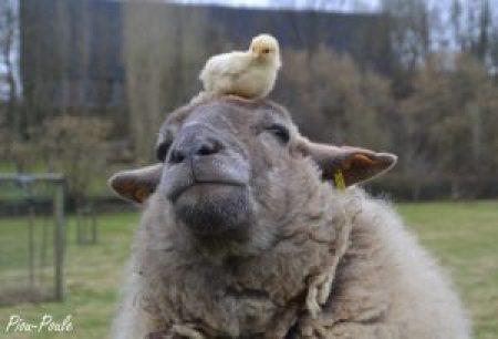 poussin couché sur la tête d'une brebis