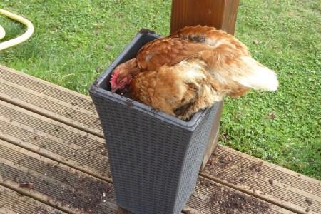 Poule rousse faisant poussière dans un pot un peu petit !!