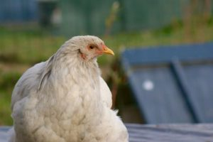 poulette brahma peu en forme, couchée sur le toit, les yeux creusés