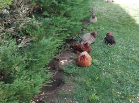 Des poules heureuses et généreuses qui méritent qu'on s'y intéresse.