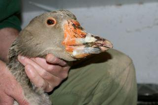 bec d'oie attaqué par renard, réparation provisoire du bec