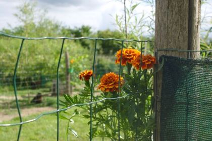 Petits œillets mis en pot suspendus dans le jardin des poules !