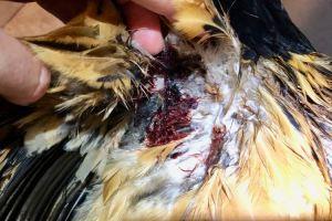 Présence d'un énorme amas de sang sous l'aile de la poule
