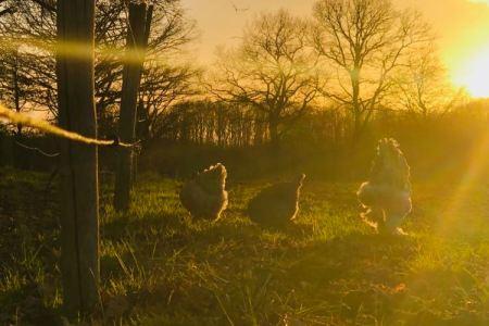 poules et coqs Brahmas à contre jour dans le couchant