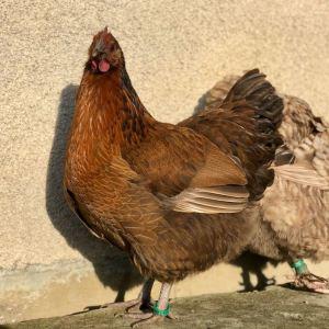 poulette orpington au coloris atypique. douce et sociable