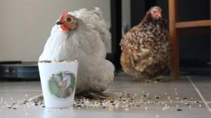 2 poules pékin, la grise devant une tasse pleine de graine pose pour la photo