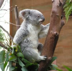 Koala in tree at Morguefile.com