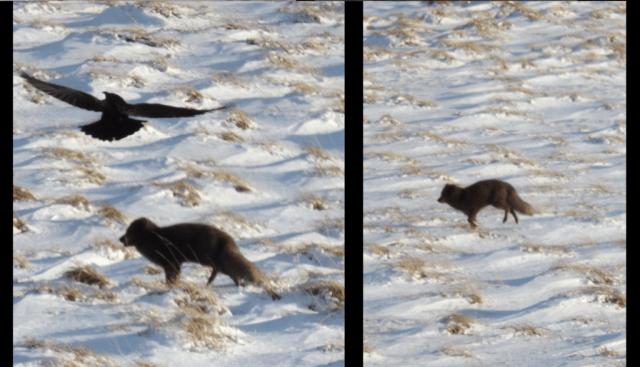 arctic-fox-running-field-raven-snow-iceland