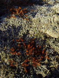 green-lichen-and-other-plant-growth-on-lava-field-iceland